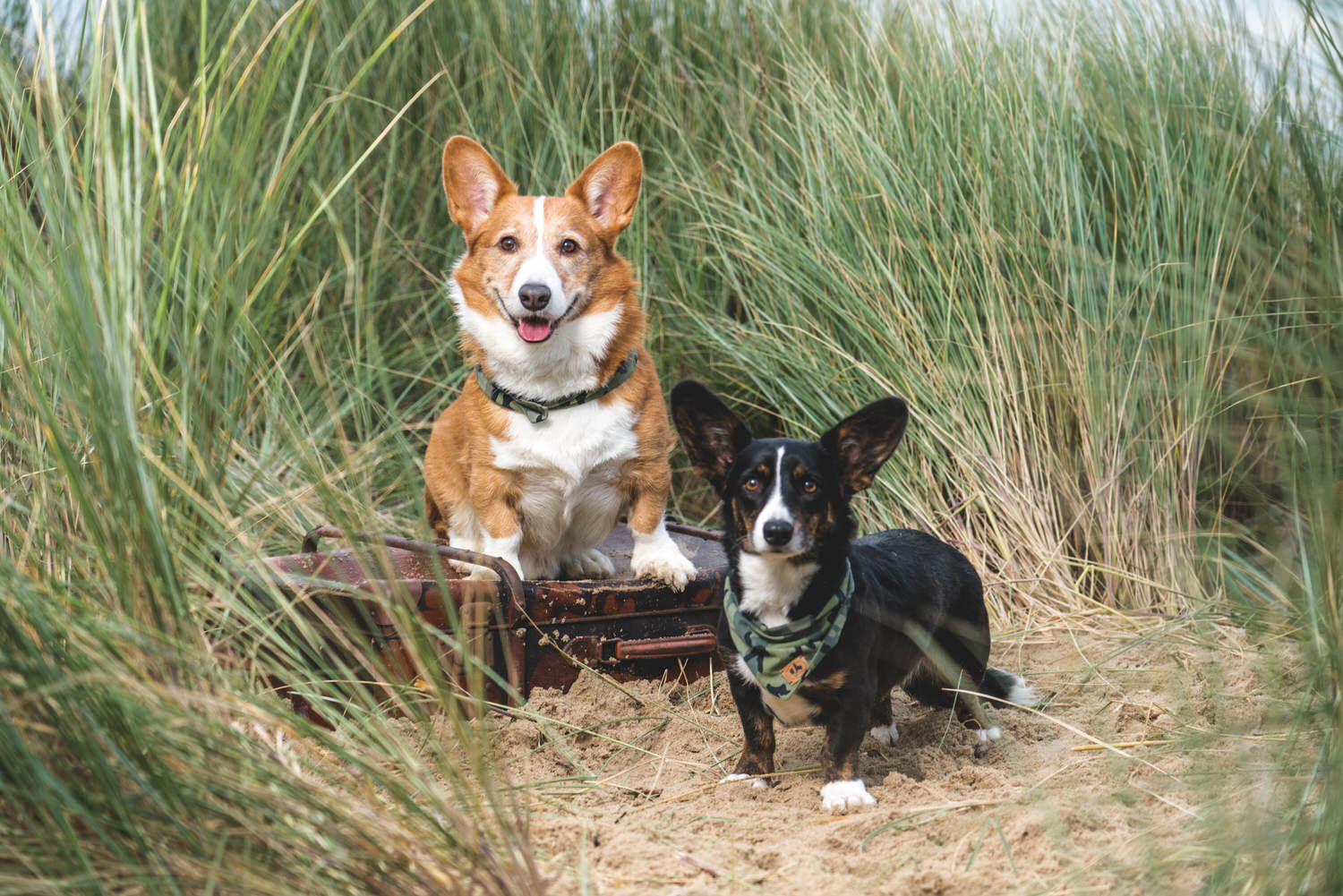 dogs at the beach corgi