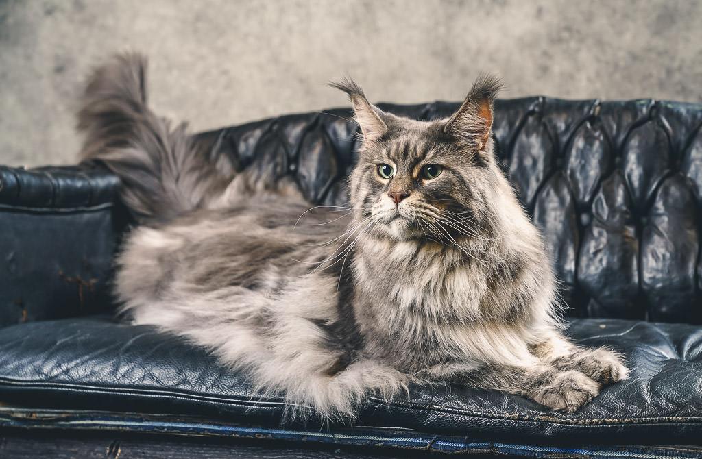 felis Belgica cat show
