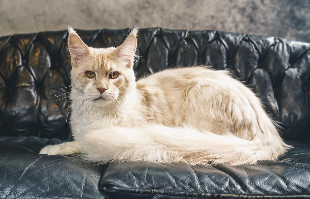 felis belgica cat show 2018
