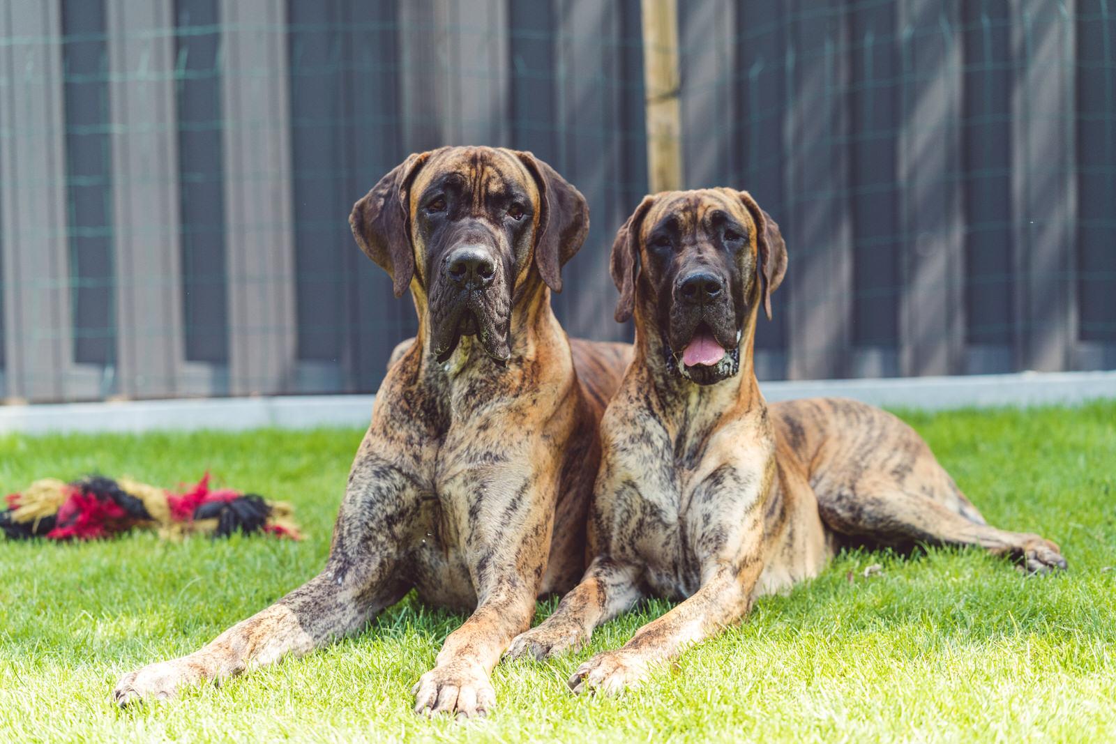 2 duitse bruine doggen