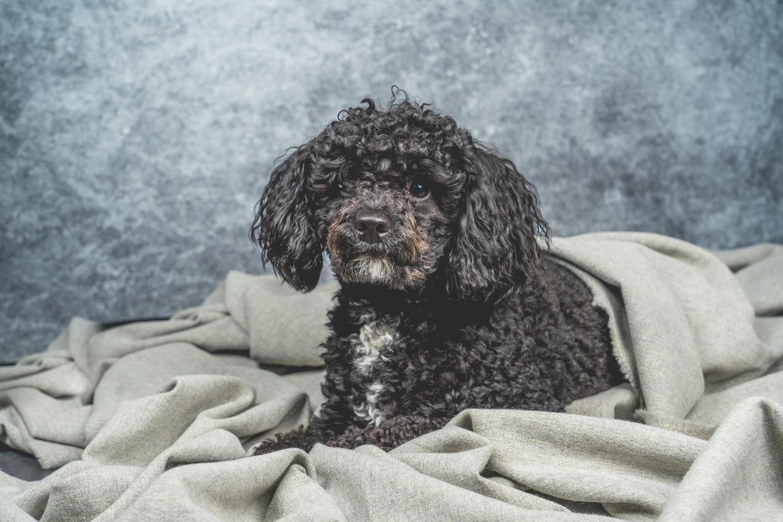 poedel onder deken