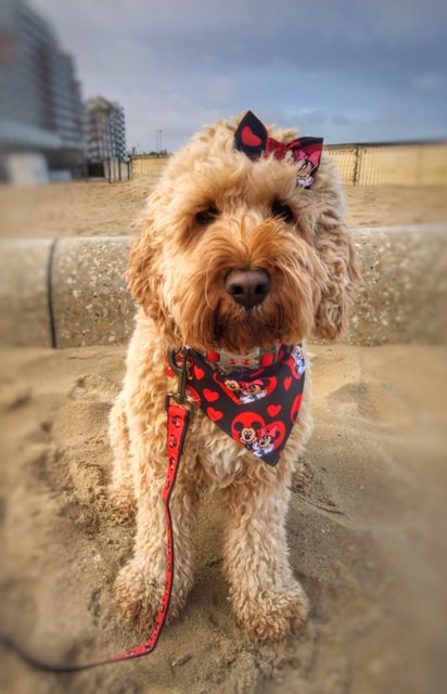 cockapoo hond op strand