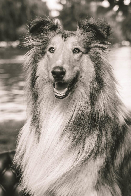 collie lassie fotoshoot