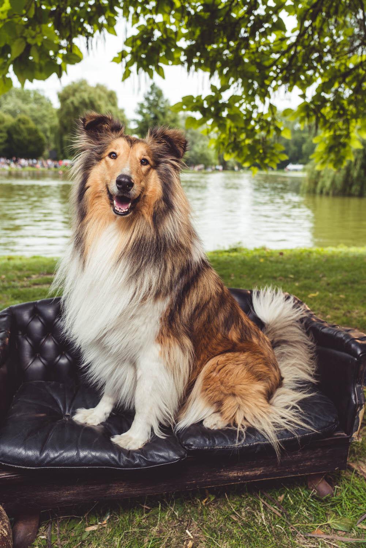scottish collie lassie