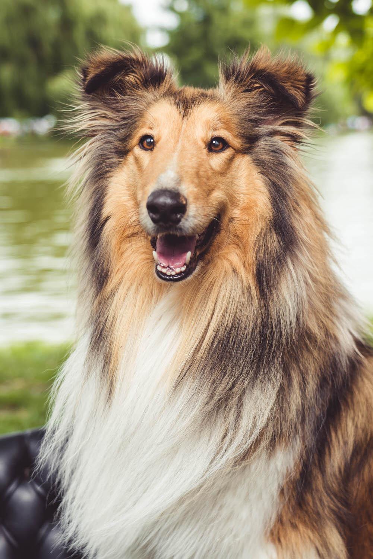schotse collie lassie