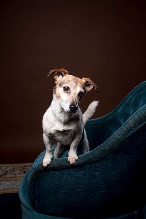 Jack russell hond