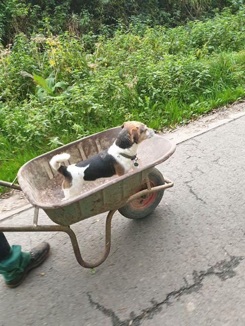 kruiwagen hond
