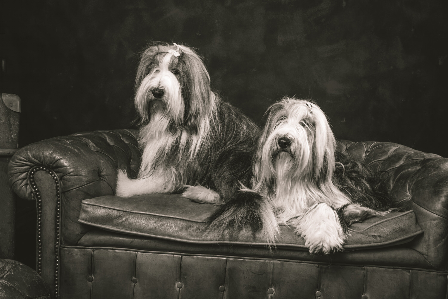 bearded collie samson