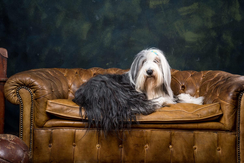 bearded collie samson in sofa