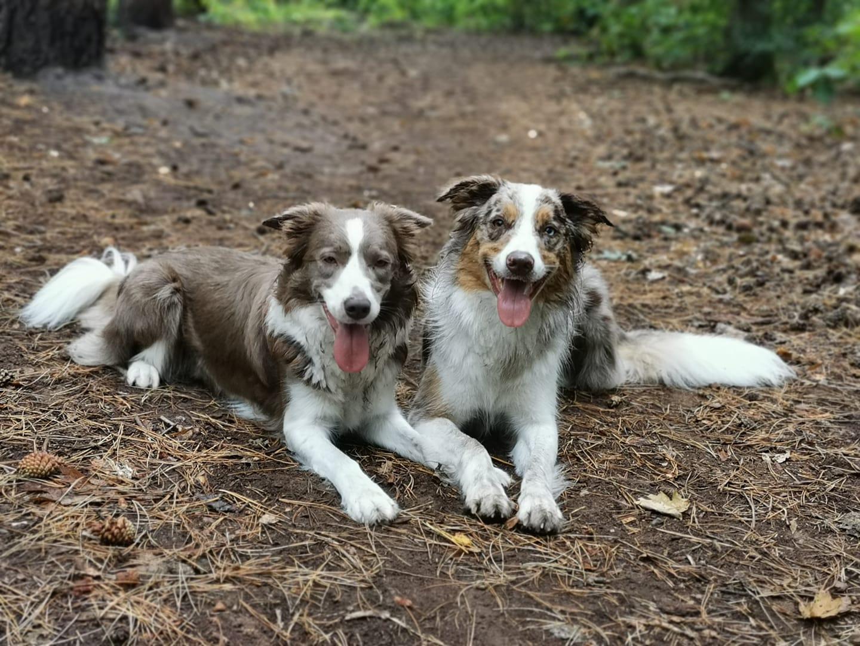 2 herdershond grond