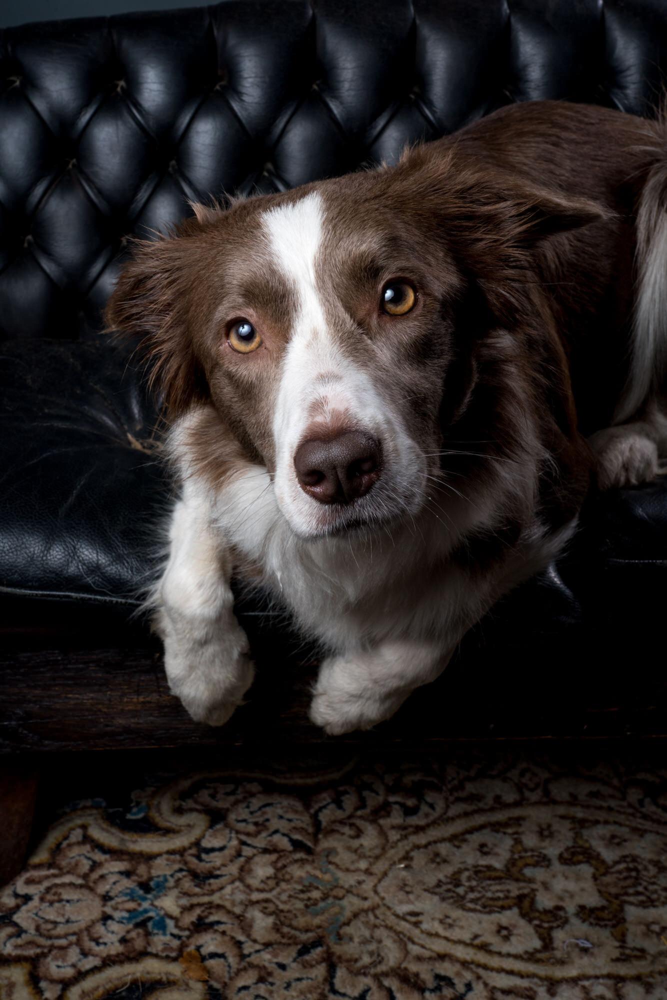 portret hond zwart