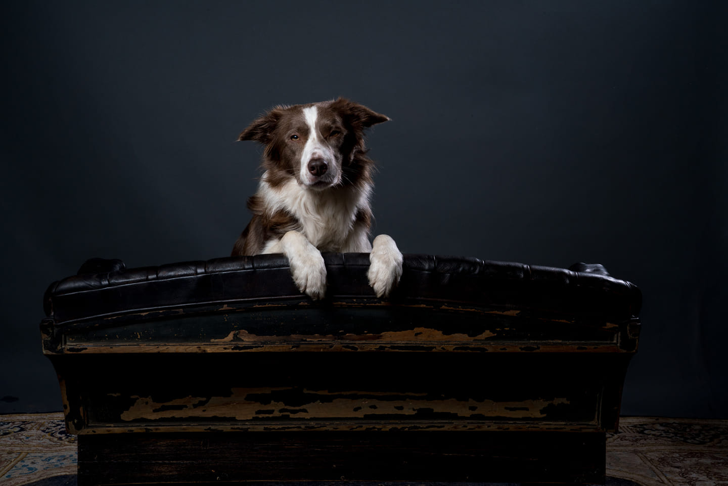 animal welfare border collie bruin
