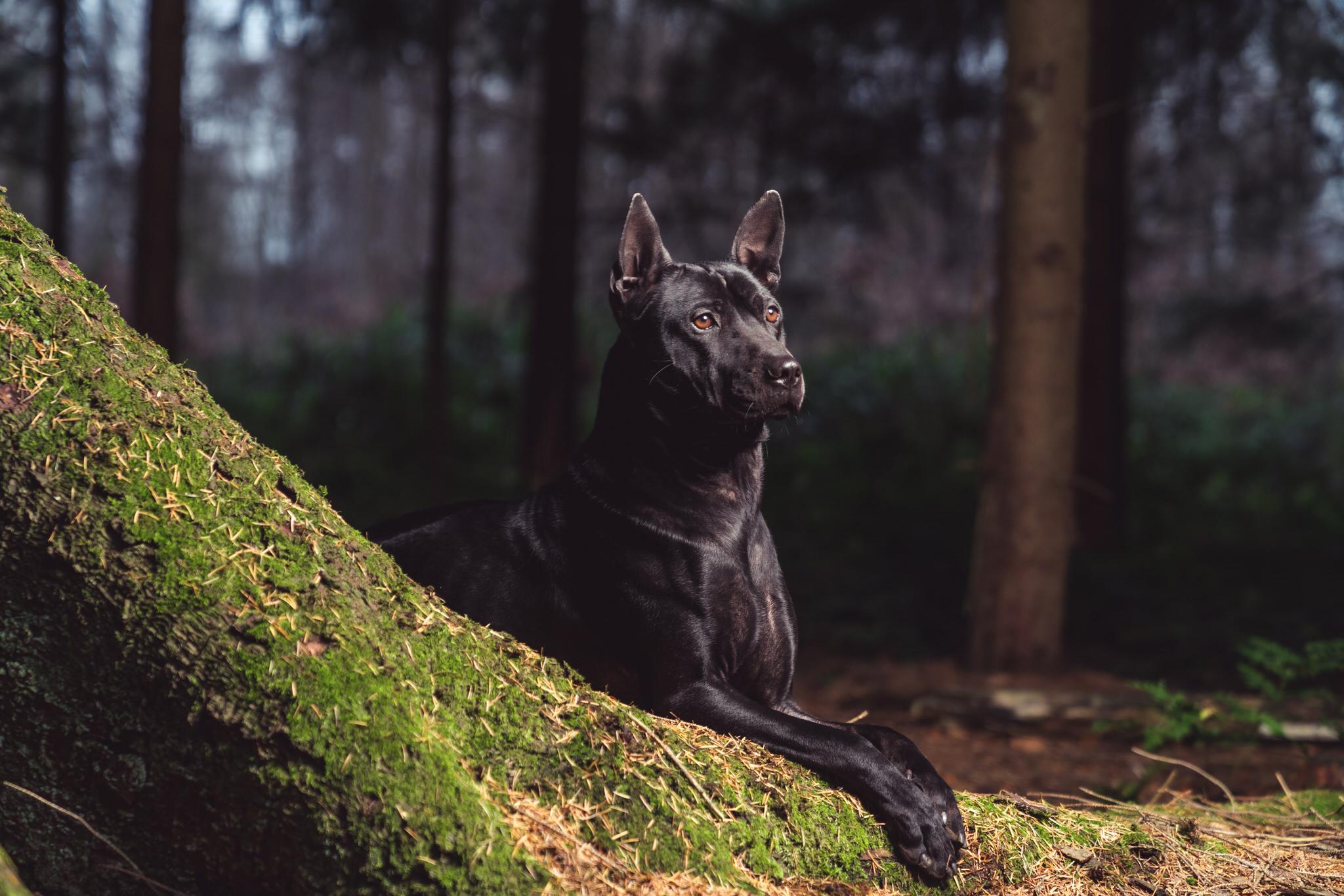 hondenfotografie thaise ridgeback zonienwoud