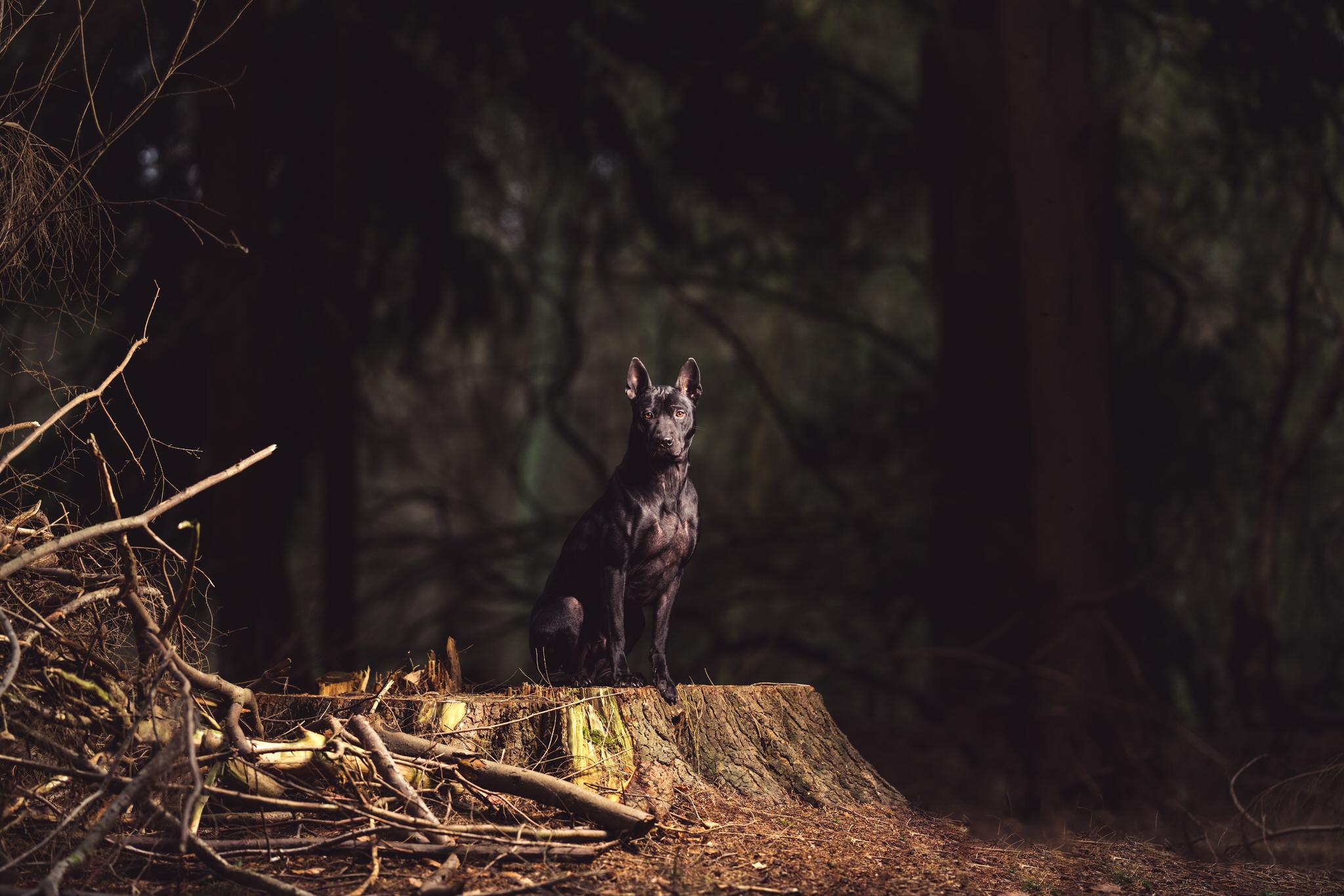 thai ridgeback dog photoshoot forest