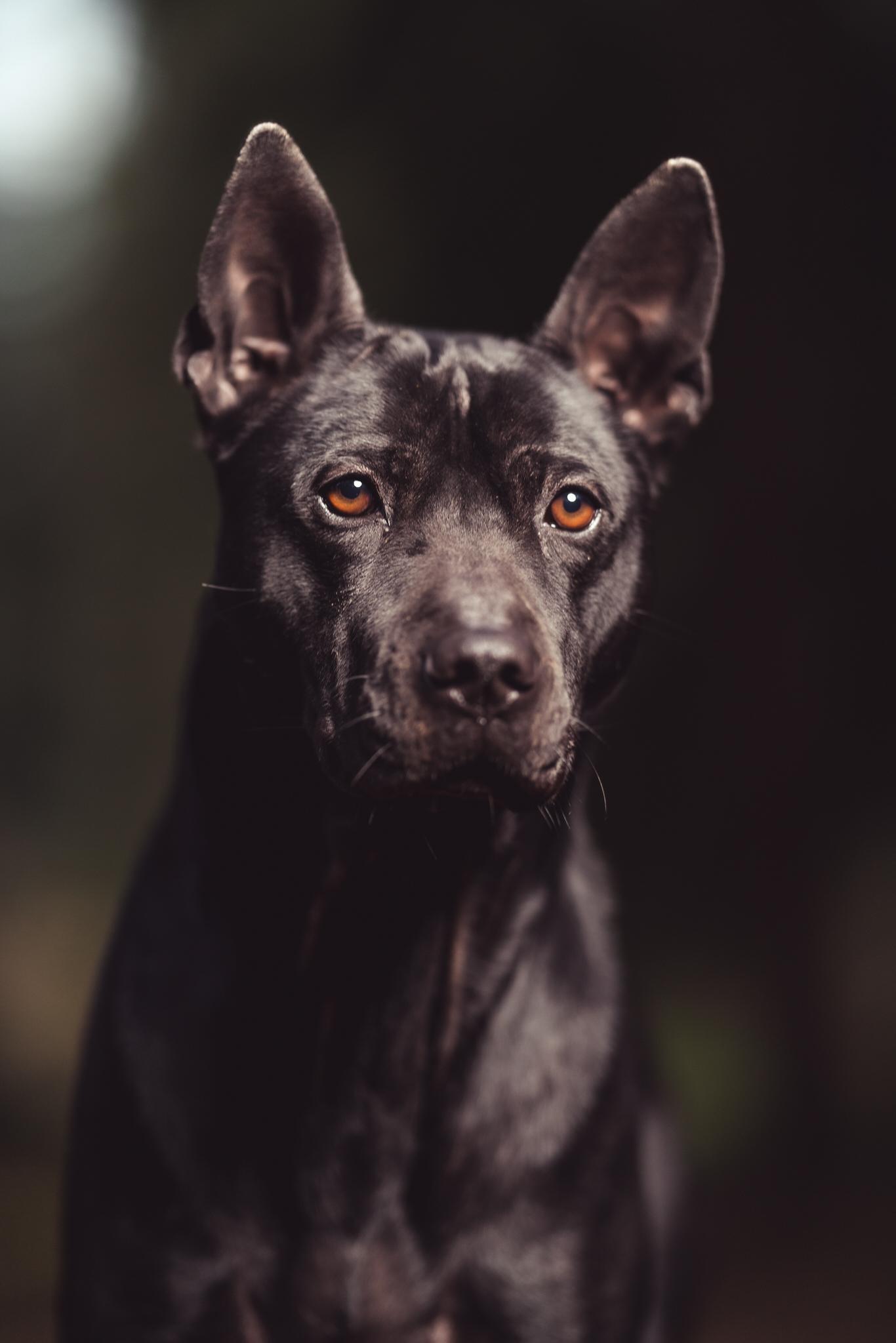 zwarte hond bruine ogen