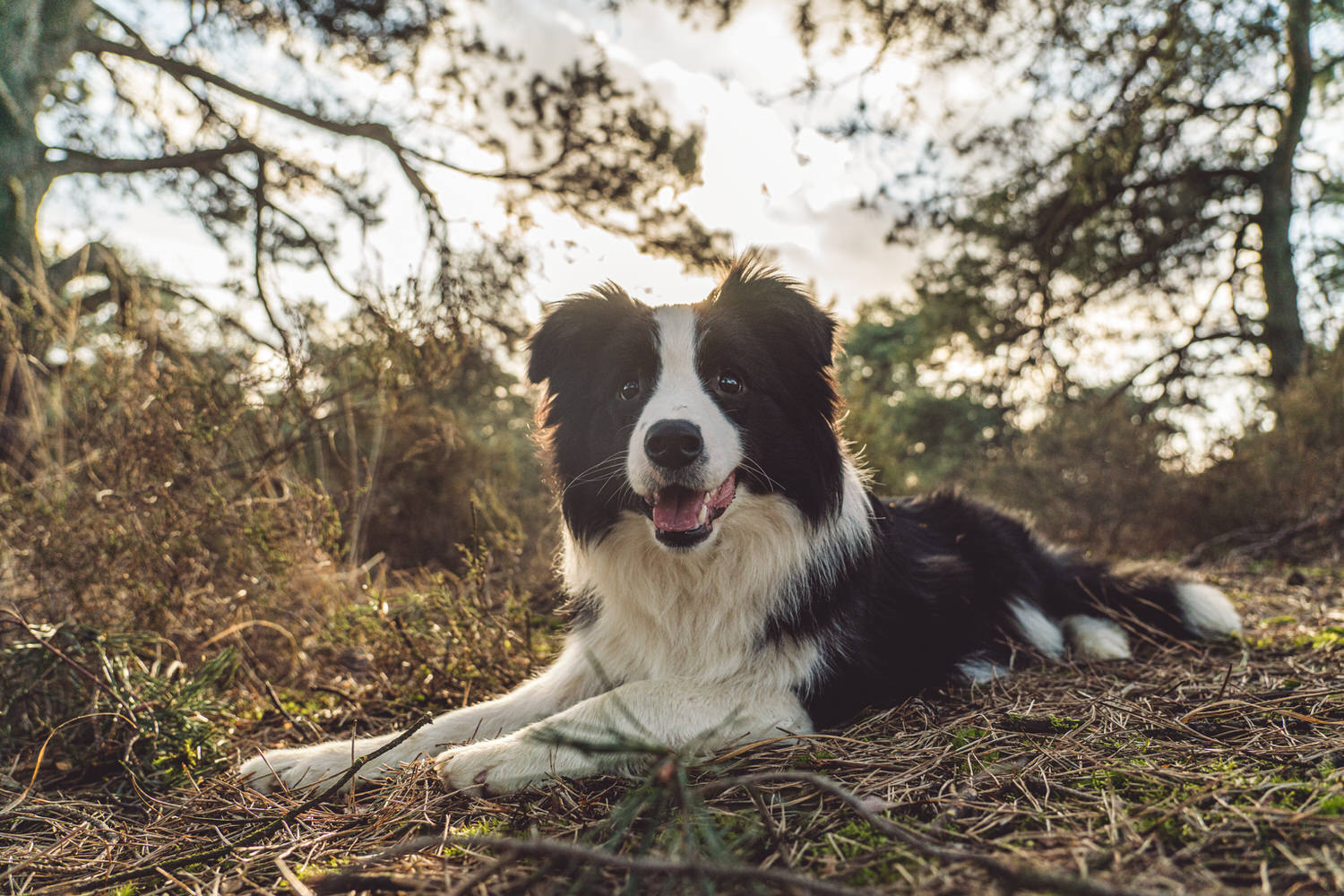 border collie kalmthout